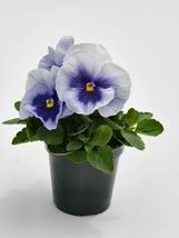 100 Pansy Seeds Pansy Inspire Plus Metallic Blue FLOWER SEEDS - Outdoor Living - $42.99