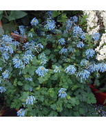 "2.5"" Pot - Rare Blue Heron Bleeding Heart - Corydalis - SHADE - Gardening- tkhit - $51.00"