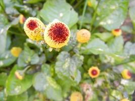 200 Seeds Spilanthes Acmell Oleracea Toothache Plant Paracress Peek-A- B... - $8.77