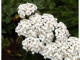 SHIP From US, 1600 Seeds White Yarrow, DIY Decorative Plant ZJ - $17.99