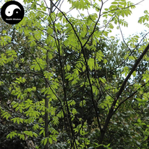 Buy Cyclocarya Paliurus Tree Seeds 120pcs Plant Chinese Herb Tea Hypogly... - $9.99