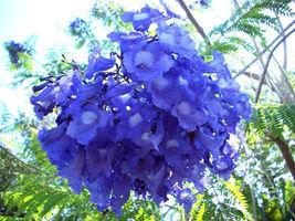 Jacaranda Cuspidifolia Blue Rare Flowering Trumpet Tree Flamboyan Seed 100 Seeds - $40.00