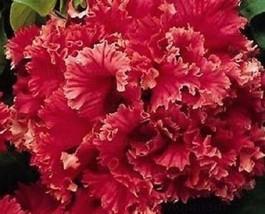 Red Double Valentine Pelleted Petunia  200 seeds bonsai big blooms garde... - $5.50