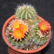 Parodia horstii notocactus @@ rare cactus seed 25 SEEDS - $18.00