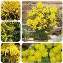 Neue nette entzückende Blumen wohlriechende Blüte Akazien Samen ElR8 - $2.00