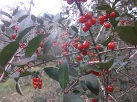 Holly Yaupon 50 (fifty) red seeds Ilex vomitoria - $18.00