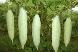 short snake gourd seeds from ceylon home garden seeds - $3.99