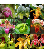 200Seeds Cypripedium tibeticum Slipper orchid Flower Seeds - $3.79