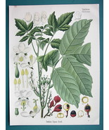 GUARANA TREE Medicinal Paullinia Cupana - Beautiful COLOR Botanical Print - $26.01