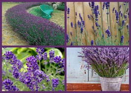 Lavender Seed, Lovely Lavender 4 Pack Special, Fragrant Perennial,Heirl... - $20.79