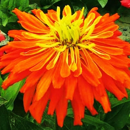 Primary image for Youth-And-Old-Age Seed 50 Seeds Orange Chrysanthemum Zinnia Elegans Flowers A233