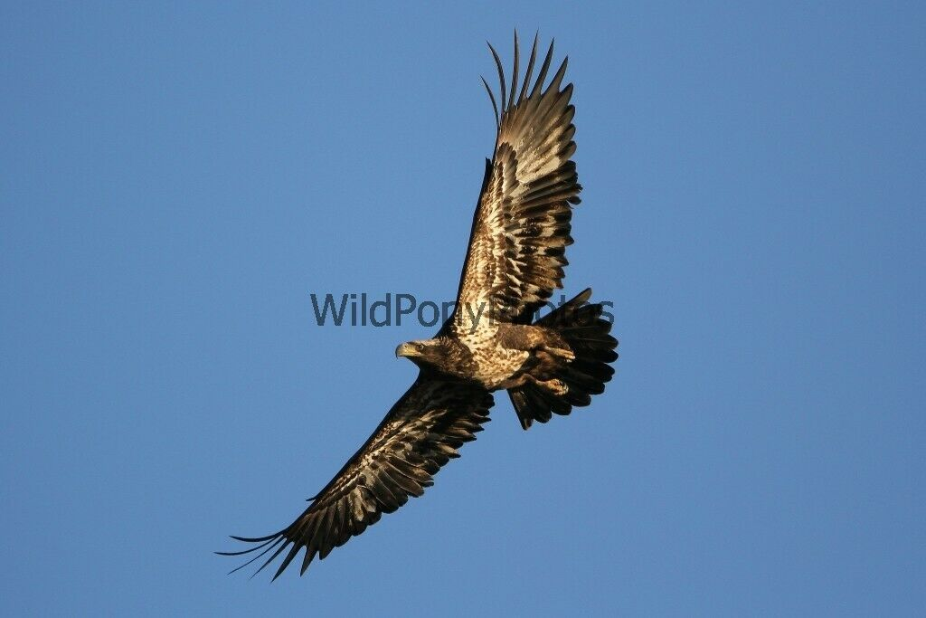 Primary image for Juvenile Bald Eagle Flyby Photo  - Various Sizes