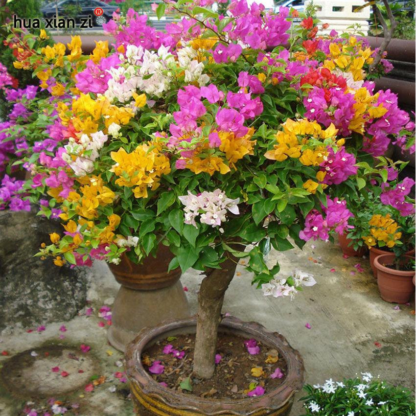 100pcs mix color bougainvillea spectabilis willd bonsai flower seeds plants 2