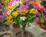 100pcs mix color bougainvillea spectabilis willd bonsai flower seeds plants 2 thumb155 crop