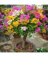 100 PCS Mix-Color Bougainvillea Spectabilis Willd Seeds Bonsai Flower Pl... - $14.00