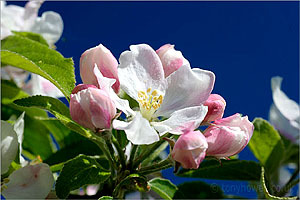 Apple Blossom Handmade Perfume Oil by BERRYSWEETSTUFF.COM