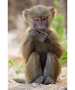 Olive Baboon Cute Asian Monkey Animal Poster 11... - $21.90