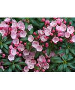5 Variety Seeds - Mountain Laurel Shrub Kalmia Latifolia Flower Seeds #TSP - $16.99+