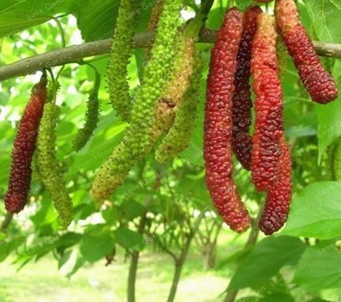 Super 100 Pcs Long Mulberry Bonsai Rare Tree And 50 Similar