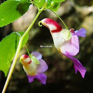 20 stücke Papagei Orchidee Blumensamen Bonsai Seltene Orchidee DL0
