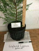 1 Leyland Cypress gallon pot image 5