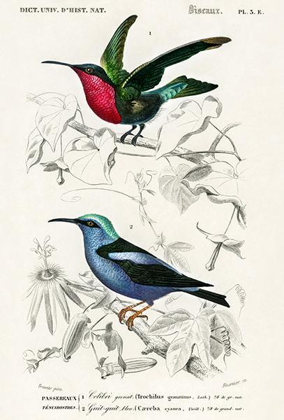 Primary image for Garnet-Throated Hummingbird & Red-Legged Honeycreeper - Bird Illustration Poster
