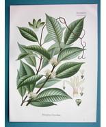 JUNGLE LIANA Medicinal Willughbeia Firma - Beautiful COLOR Botanical Print - $19.09