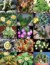 20 Seeds Color ALOINOPSIS Mix - $19.96