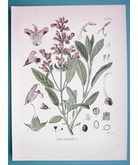 GARDEN SAGE Medicinal Salvia Officinalis - Beautiful COLOR Botanical Print - $21.42