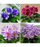 Promotion 100PCS African Violet flower seeds rare garden bonsai plant Pe... - $4.39