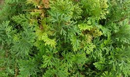 """Cypress Spikemoss - Selaginella plana - 4"""" Pot - $36.00"""