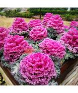 Kale Ornamental Brassica Oleracea Collard Winter Flowers, 30 pcs Seeds - £8.69 GBP