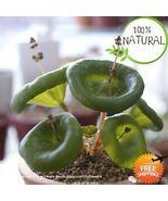 Real Crassula Umbella Seeds Plants Semillas Bonsai Succulents Fresh 100 ... - $6.99