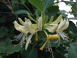 1 Starter Plant of Lonicera Periclymenum 'Graham Thomas' - $67.32
