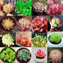 Echeveria species mix 10,50,100 seeds *succulent cactus* rare exotic Com... - $4.99