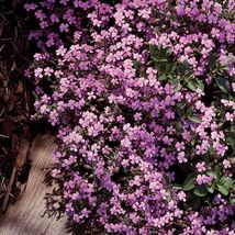 Soapwort 100 Seeds -Saponaria Vaccaria -Pink Beauty - $2.99