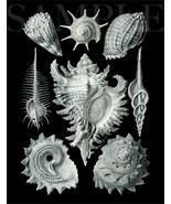 8.5X11 Sea Shell Drawing 1904 Artwork Picture New Fine Art Print Old Bla... - $12.16