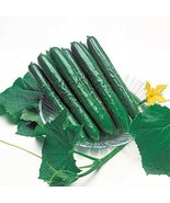 20 Seeds of Summer Top Hybrid Cucumber Cucumis Sativus - $17.23