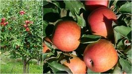 Jonagold Apple Tree (2-3') - Home Gardening Outdoor Living - $71.99