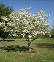 10 White Dogwood Tree Seeds-1193 - $2.98