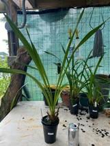 Cymbidium Cym. Street of Gold 'Mana' Orchid Plant Blooming Size Warm 0518 L image 2