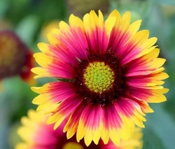 1000pcs Very Exotic Gaillardia Goblin Fresh Seeds #TLM1 - $31.99