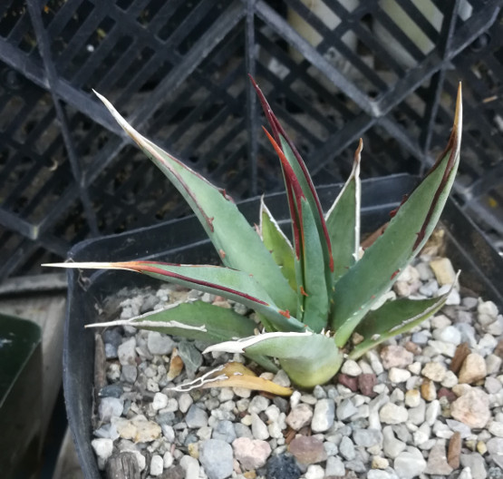 Agave utahensis v. kaibabensis North Rim Grand Canyon Cold Hardy Succulent 89