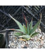 Agave utahensis v. kaibabensis North Rim Grand Canyon Cold Hardy Succule... - $11.95