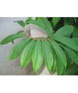 Ayurvedic natural Insulin Plant Leaf Powder (Costus Igneus) Thebu leaves - $9.90