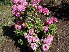 Rhododendron 'Holden' - Starter Plant - $53.46