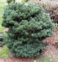 5 Year PLANT of Pinus Parviflora Pent Azuma - $237.60