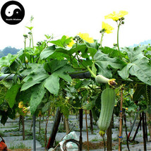 Buy Short Loofah Melon Seeds Plant Melon Vegetable Luffa Cylindrica - $5.99