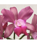 Rhyncattleanthe Phinyophan Boy CATTLEYA Orchid Plant Pot BLOOMING SIZE 0... - $22.49
