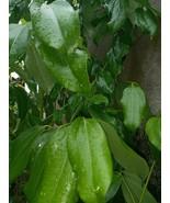 100% Organic Ceylon Cinnamon Leaves ( Sun Dried ) 50  NATURAL LEAVES - $6.99